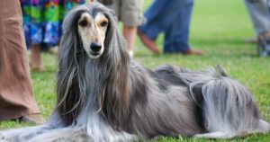 Shelter Gave Hospitalized Woman's Afghan Hound Away