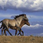 Efficacy of dart-delivered PZP-22 immunocontraceptive vaccine in wild horses in baited traps in New Mexico