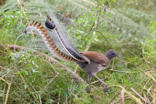 The Lyrebirds