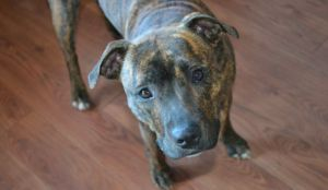 City Ends Pit Bull Ban But Many Dog Owners Aren't Happy With The Rules Put In Its Place