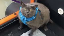 Everyone's Rooting For Cinder-Block, An Obese Cat Who Dislikes Her Workout