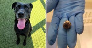 Shelter Staff Is Shocked To Find A Bullet In Rescue Dog's Abdomen