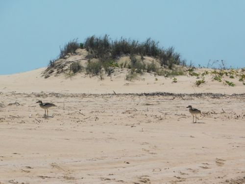 A pair of Beach Stone-curlews