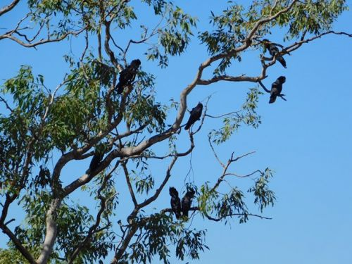 Red-tailed Black-Cockatoos return to Broome