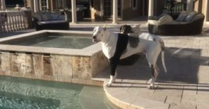 Deaf Great Dane Throws A Fit When He Can't Go Swimming