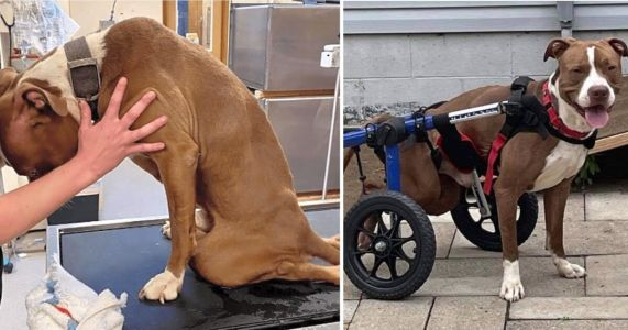 Dog Hit By Car & Left Untreated For Months Learns To Thrive Despite Paralysis