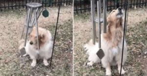 Musically Gifted Golden Retriever Plays Wind Chimes And Sings Along