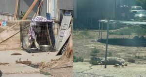 Huskies Chained Outside To Metal Cages In 115 Degree Heat