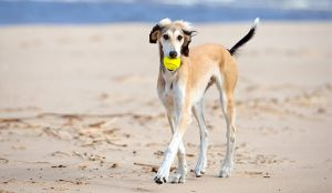 Getting To Know The Saluki