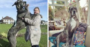 7-Foot Great Dane Went From Runt Of Litter To World's Tallest Dog
