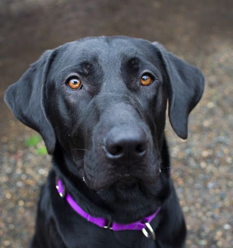 """""""JOHNO"""" Big Black Lab - needs time/patience to settle into new home"""