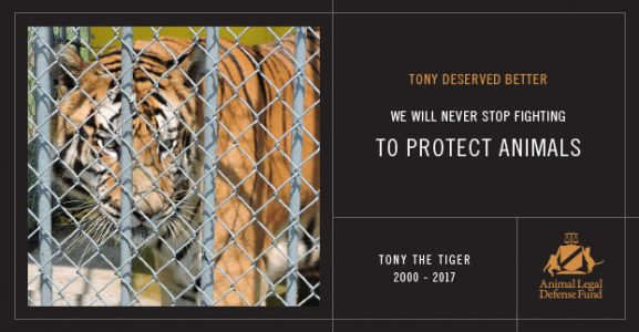 The Animal Legal Defense Fund Mourns the Loss of Tony the Tiger