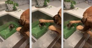 Giant Dog Comforts Rescue Kitten During Bathtime