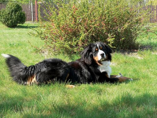 Breed Spotlight: Burnese Mountain Dogs | Winslow Animal Hospital Dog & Cat