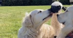 Golden Retriever Adopts Orphaned Lamb As Her Own Curly Puppy