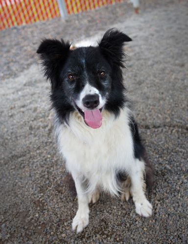 """CHEY"" well trained Border Collie mix"