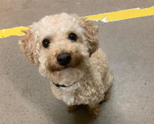 """""""MR COCO"""" toy poodle mix"""