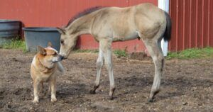 Sweet Dog Cares For 9-Day-Old Orphaned Foal