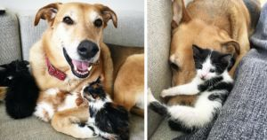 Rescue Dog Falls In Love With Over 60 Foster Kittens