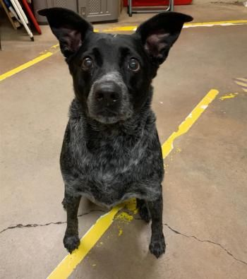 """KAYTO"" cattle dog mix"