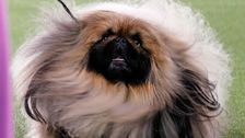 Westminster Kennel Club Dog Show Honors Pekingese Named Wasabi As Best In Show