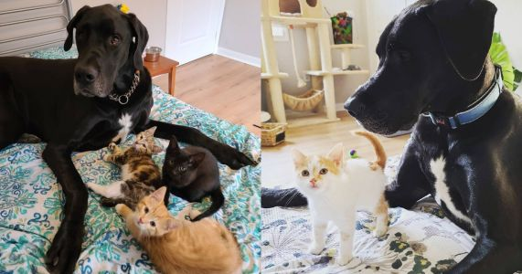 Giant Great Dane Proves To Be Best Kitten Foster Dad Ever