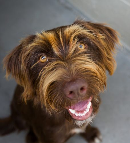 """GLORIA"" wirehaired Pointing Griffon mix"