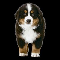 Breed: Bernese Mountain Dog