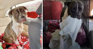 Former Bait Pit Bull Carries Security Blanket For Comfort