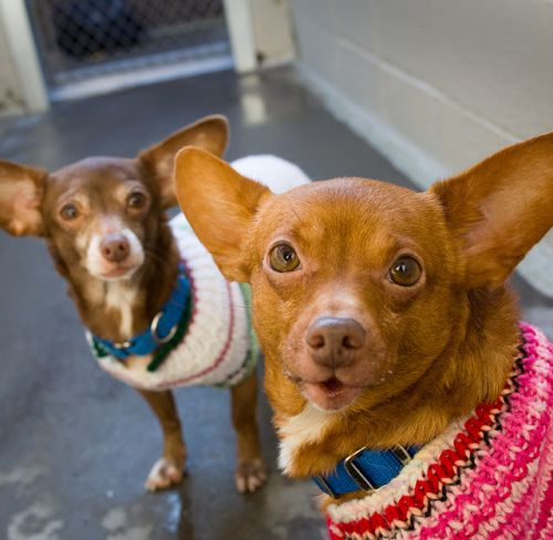 """""""FOXX"""" and """"DHARMA"""" bonded Chi /doxie mixes"""