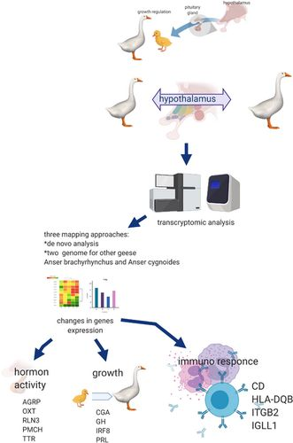 Hypothalamus-pituitary axis transcriptomic modification dependent on growth rate in geese