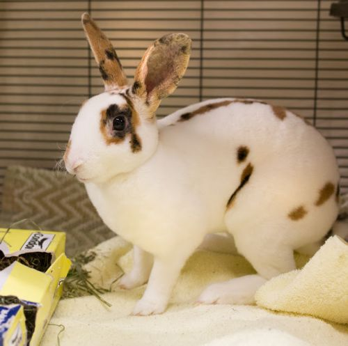 """""""SNICKERS"""" remarkable Markings! Rex mix Rabbit"""