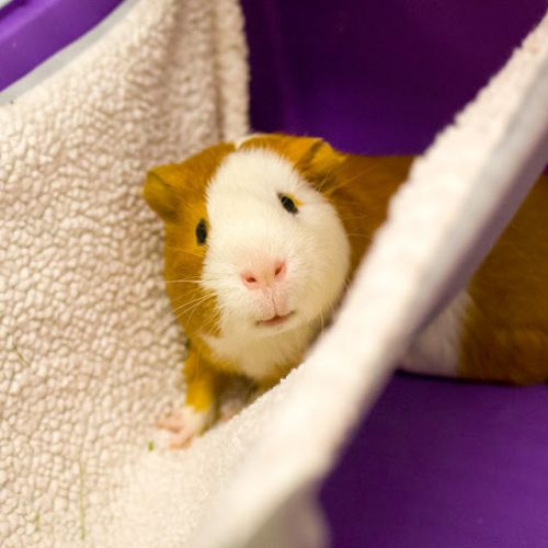 """""""ZIPPY"""" and """"KENDRICK"""" sociable young guinea pigs"""